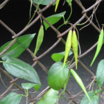 Black swallow wort with pods